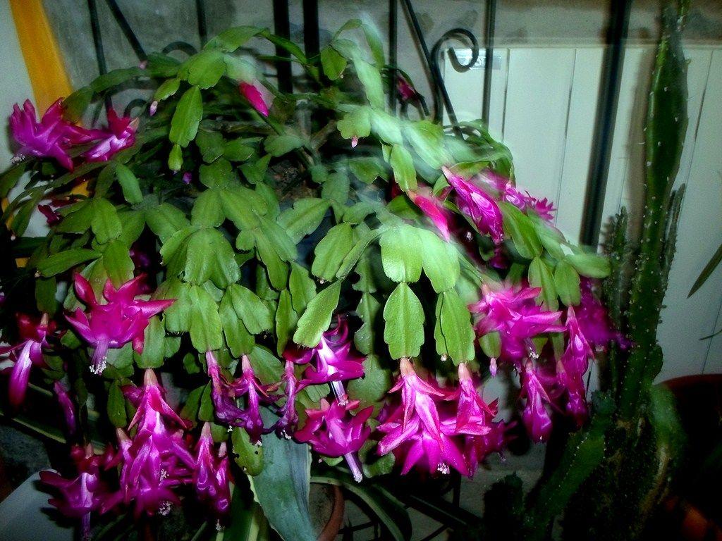 epiphyllum fleur de noel. Black Bedroom Furniture Sets. Home Design Ideas